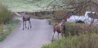Elk (moose) in our garden