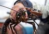 Lobster fishing in Bohuslän