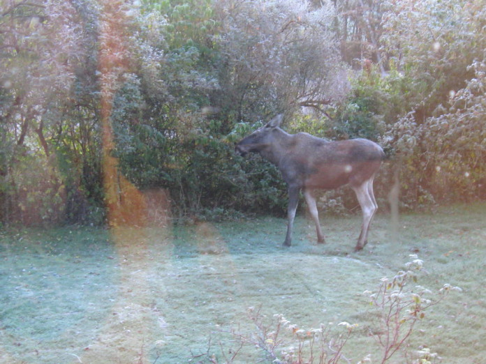 Elk (moose) in our garden